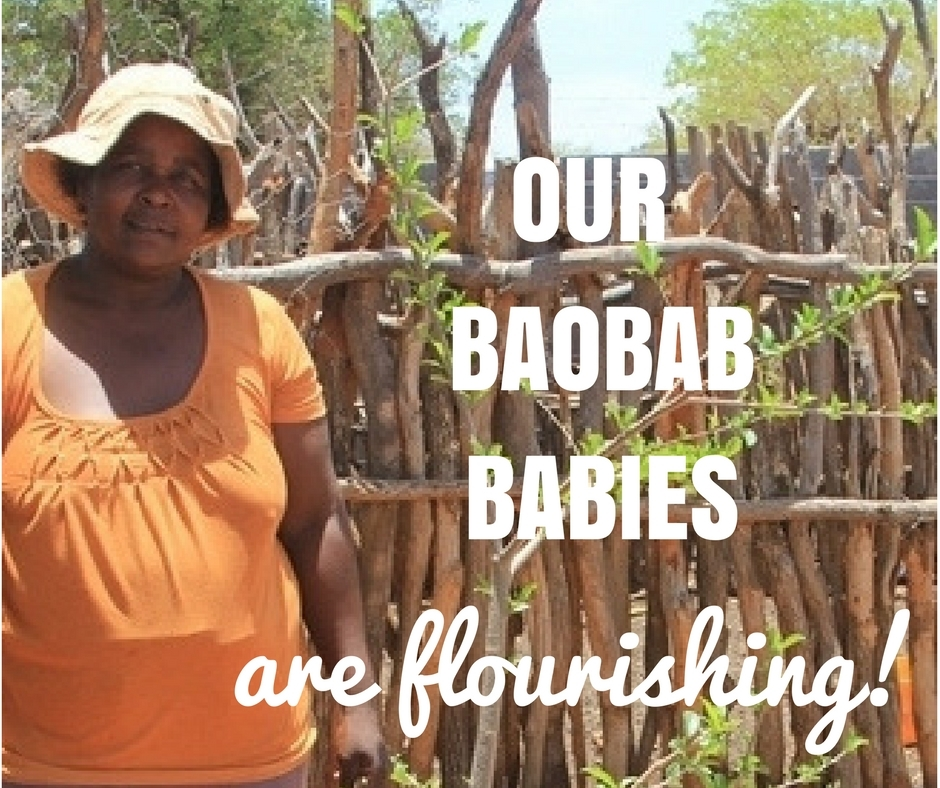 2017 Jan: Baobab Guardians: our baobab babies are flourishing!