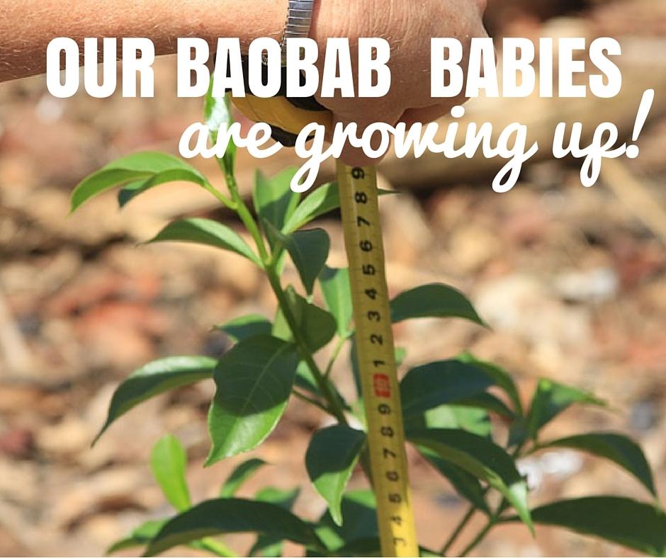 2016 Jun: Baobab Guardians: our baobab babies are growing up!